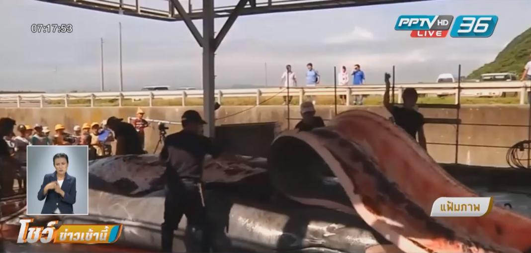 ญี่ปุ่นเดินหน้าล่าวาฬตามโครงการต่อเนื่อง 98 วัน เมินนานาชาติกดดัน