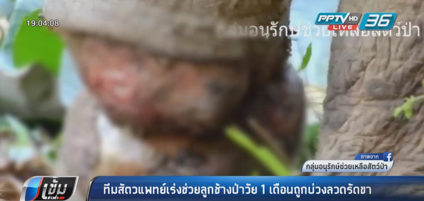 สัตวแพทย์เร่งช่วยลูกช้างป่าวัย 1 เดือน ถูกบ่วงลวดรัดขา แผลเน่าถึงกระดูก