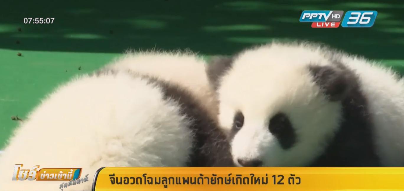 สุดน่ารัก! จีนอวดโฉมลูกแพนด้ายักษ์เกิดใหม่ 12 ตัว