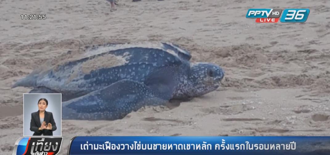 เต่ามะเฟืองโผล่วางไข่ หาดเขาหลักครั้งแรกในรอบ 5 ปี