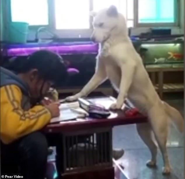 ไอเดียบรรเจิด พ่อใช้หมา คุมลูกสาวไม่ให้เล่นโทรศัพท์ระหว่างทำการบ้าน