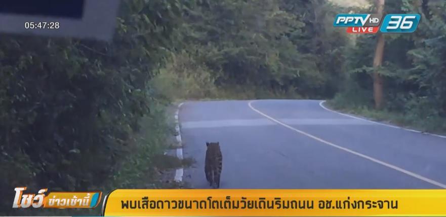 พบเสือดาวขนาดโตเต็มวัยเดินริมถนน อช.แก่งกระจาน