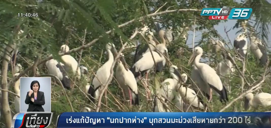 """เร่งแก้ปัญหา """"นกปากห่าง"""" บุกสวนมะม่วงเสียหายกว่า 200 ไร่"""