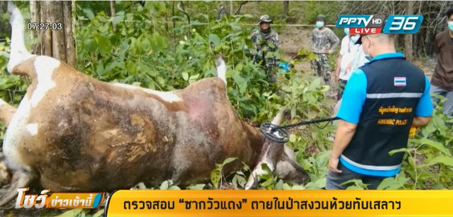 """ตรวจสอบ """"ซากวัวแดง""""ตายในป่าสงวนห้วยทับเสลาฯ"""